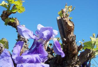 Un pied de vigne du Domaine Vila Voltaire
