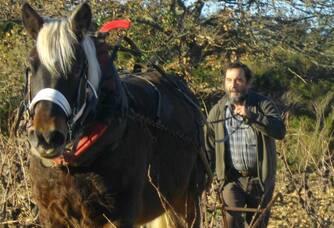 Titan, notre cheval laboure la vieille vigne de Carignan Gris du Mas Consolation