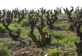 Les vignes du domaine Puig-Parahÿ