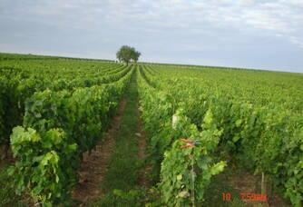 Au coeur du Vignobles Querre