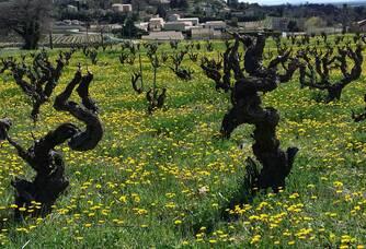 Les vignes du Domaine Rabasse Charavin