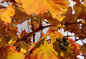 Une vigne en automne au Domaine de la Dourbie