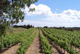 les vignes au printemps