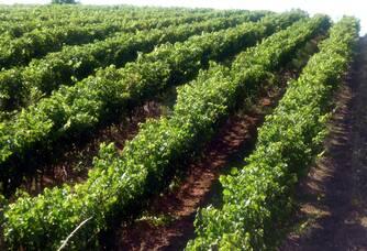 Les vignes du domaine Treille