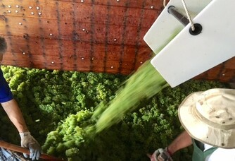 Les grappes de cépage Chardonnay sont déversées dans le pressoir par une