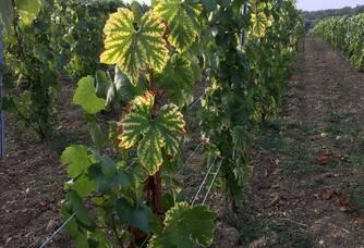 Octobre, nos parcelles plantées en cépage Chardonnay se parent d'un magnifique jaune très lumineux et d'un superbe rouge dans nos coteaux plantés en cépages Pinot Meunier et Pinot Noir