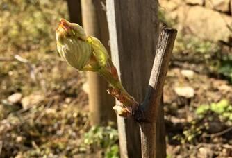 Un jeune pied de vigne du Domaine Chavy Chouet