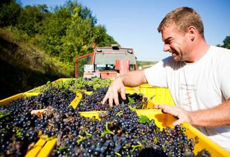 Le ramassage des raisins des Champagnes Gremillet