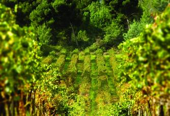 Une vue entre les vignes du Château des Bormettes
