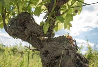 Un vieux cep de vigne du Château Ferran