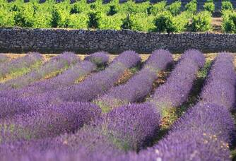 Les champs de lavande du Château La Calisse