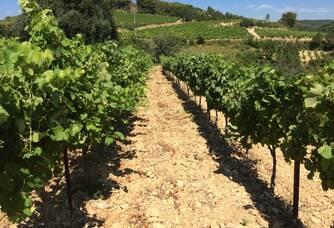 Vue entre les vignes du Domaine de Crémone