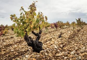 Un pied de vigne du Domaine des Escaravailles