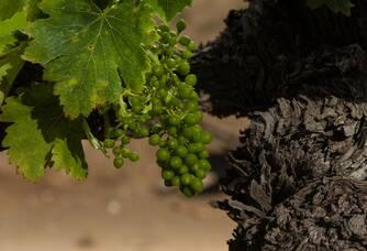 Jeunes grappes des vignes du Domaine Les Cailloux