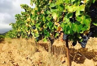Les vignes du Domaine Mandourelle