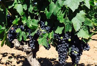 Les pieds de vignes du Domaine Mandourelle