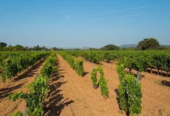 Le vignoble du domaine Pieracci