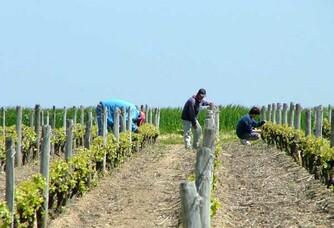 Taille de la vigne au Domaine Tatin