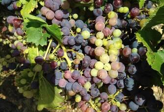 Des grappes de raisins rouges du Mas Baux