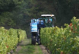 Vue entre les vignes des Vignobles Garzaro lors des vendanges